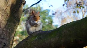 Squirrels of Hyde Park
